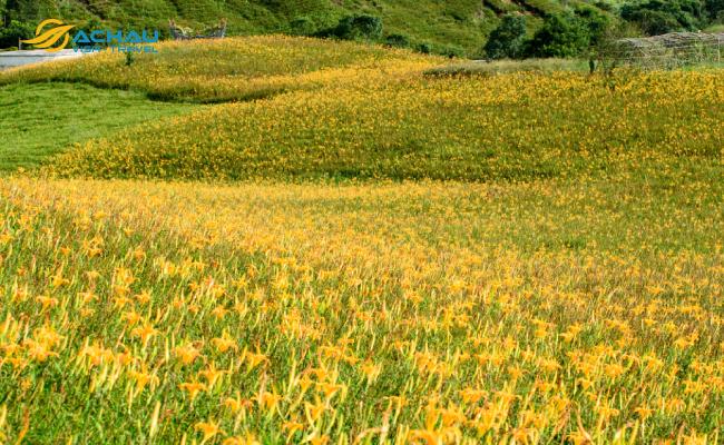 Say đắm giữa đồi hoa kim châm mộng mơ ở Hoa Liên Đài Loan 2