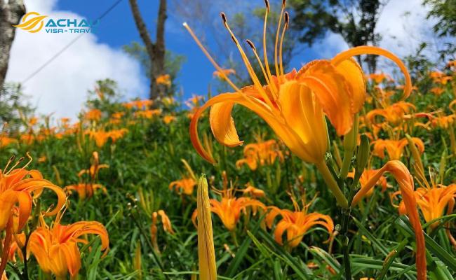 Say đắm giữa đồi hoa kim châm mộng mơ ở Hoa Liên Đài Loan 4